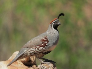Gambels Quail Wallpaper