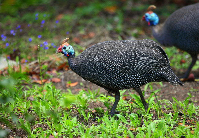 Two Guinea Fowls
