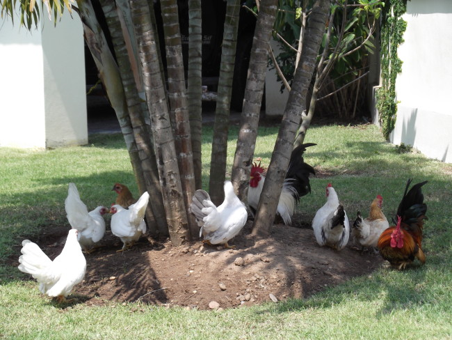 Group of Japanese Bantam Chickens