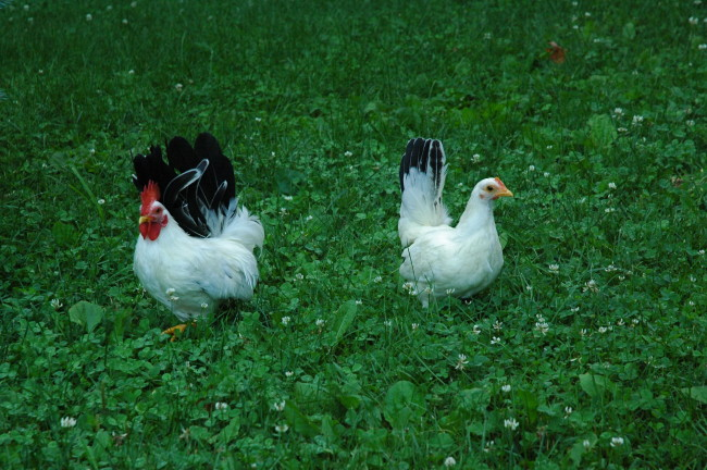 Rooster and Chicken, Japanese Bantam