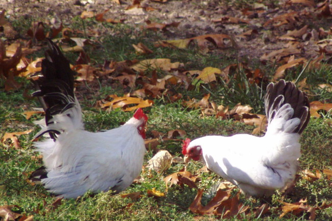 Japanese Bantham Two Chickens Eating
