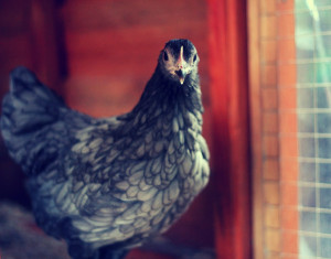 Langshan Chicken Bird